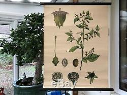 Vintage BELLADONNA school chart BOTANICAL roll down DEADLY NIGHTSHADE lithograph